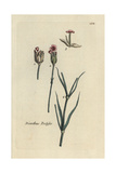 "Childing Pink, Dianthus Prolifer, From Pierre Bulliard's ""Flora Parisiensis,"" 1776, Paris Giclee Print by Pierre Bulliard"