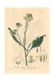 Black Mustard, Sinapis Nigra Giclee Print by Charles Mathews