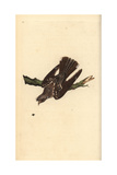 Nightjar From Edward Donovan's Natural History of British Birds, London, 1799 Giclee Print by Edward Donovan