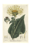 Elecampane, Inula Helenium, From William Baxter's British Phaenogamous Botany, Oxford, 1838 Giclee Print by Isaac Russell