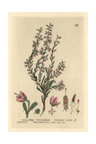 Common Heather Or Ling, Calluna Vulgaris, From William Baxter's British Phaenogamous Botany, 1834 Giclee Print by Charles Mathews