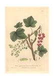 Common Red Currant, Ribes Rubrum, From William Baxter's British Phaenogamous Botany, Oxford, 1839 Giclee Print by Charles Mathews