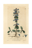 Common Bugle, Ajuga Reptans, From William Baxter's British Phaenogamous Botany, 1834 Giclee Print by Isaac Russell
