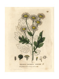 Feverfew, Pyrethrum Parthenium, From William Baxter's British Phaenogamous Botany, 1834 Giclee Print by Isaac Russell