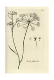 "Glaucous Meadow Saxifrage, Seseli Glaucum, From Pierre Bulliard's ""Flora Parisiensis,"" 1776, Paris Giclee Print by Pierre Bulliard"