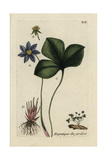"Liverwort, Anemone Hepatica, From Pierre Bulliard's ""Flora Parisiensis,"" 1776, Paris Giclee Print by Pierre Bulliard"