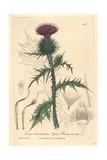 Spear Plume Thistle, Cnicus Lanceolatus, From William Baxter's British Phaenogamous Botany, 1841 Giclee Print by Charles Mathews