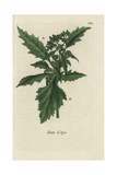 "Sowbane, Chenopodium Murale, From Pierre Bulliard's ""Flora Parisiensis,"" 1776, Paris Giclee Print by Pierre Bulliard"