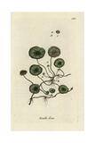 "Marsh Pennywort, Hydrocotyle Vulgaris, From Pierre Bulliard's ""Flora Parisiensis,"" 1776, Paris Giclée-Druck von Pierre Bulliard"