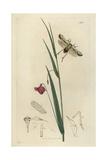 Asiraca Pulchella, Araeopus Pulchellus, Pretty Asiraca And Crimson Grassvetch, Lathyrus Nissolia Giclee Print by John Curtis