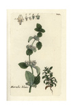 "White Horehound, Marrubium Vulgare, From Pierre Bulliard's ""Flora Parisiensis,"" 1776, Paris Giclee Print by Pierre Bulliard"