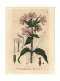 Soapwort, Saponaria Officinalis, From William Baxter's British Phaenogamous Botany, 1834 Giclee Print by Isaac Russell