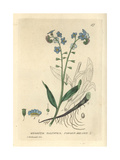 Forget Me Not, Myosotis Palustris, From William Baxter's British Phaenogamous Botany, 1834 Giclee Print by Charles Mathews