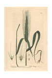 Wall Barley, Hordeum Murinum, From William Baxter's British Phaenogamous Botany, Oxford, 1839 Giclee Print by Charles Mathews