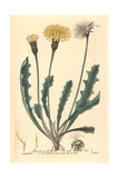 Rough Hawkbit, Apargia Hispida, From William Baxter's British Phaenogamous Botany, Oxford, 1839 Giclee Print by Isaac Russell