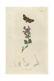 Cerapteryx Hibernicus, Cerapteryx Graminis Ab. Hibernicus, Irish Antler Moth Giclee Print by John Curtis
