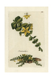 "Moneywort, Lysimachia Nummularia, From Pierre Bulliard's ""Flora Parisiensis,"" 1776, Paris Giclee Print by Pierre Bulliard"