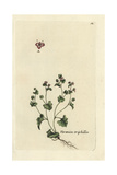 "Finger Speedwell, Veronica Triphyllos, From Pierre Bulliard's ""Flora Parisiensis,"" 1776, Paris Giclee Print by Pierre Bulliard"