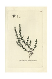 "Coral Necklace, Illecebrum Verticillatum, From Pierre Bulliard's ""Flora Parisiensis,"" 1776, Paris Giclee Print by Pierre Bulliard"