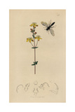 Diodontus Gracilis, Passaloecus Gracilis Wasp, with Upright St. John's Wort, Hypericum Pulchrum Giclee Print by John Curtis