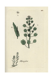 "Field Penny-cress, Thlaspi Arvense, From Pierre Bulliard's ""Flora Parisiensis,"" 1776, Paris Giclee Print by Pierre Bulliard"