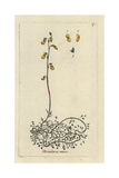 "Lesser Bladderwort, Utricularia Minor, From Pierre Bulliard's ""Flora Parisiensis,"" 1776, Paris Giclee Print by Pierre Bulliard"
