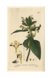 Bee Nettle, Galeopsis Versicolor, From William Baxter's British Phaenogamous Botany, 1834 Giclee Print by William Delamotte