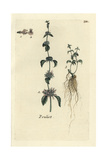 "Pennyroyal, Mentha Pulegium, From Pierre Bulliard's ""Flora Parisiensis,"" 1776, Paris Giclee Print by Pierre Bulliard"