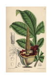 Amorphophallus Eichleri, Voodoo Lily Native of Western Tropical Africa Giclee Print by Matilda Smith