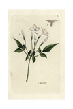 Jasmine, Jasminum Officinale Giclee Print by Pierre Bulliard