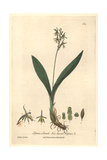 Two-leaved Liparis, Liparis Loeselii, From William Baxter's British Phaenogamous Botany, 1841 Giclee Print by Charles Mathews