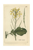 "Wild Radish, Raphanus Raphanistrum, From Pierre Bulliard's ""Flora Parisiensis,"" 1776, Paris Giclee Print by Pierre Bulliard"