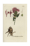 "Common Lousewort, Pedicularis Sylvatica, From Pierre Bulliard's ""Flora Parisiensis,"" 1776, Paris Giclee Print by Pierre Bulliard"