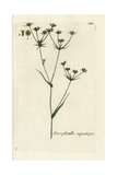 "Hare's Ear, Bupleurum Rotundifolium Junceum, From Bulliard's ""Flora Parisiensis,"" 1776, Paris Giclee Print by Pierre Bulliard"