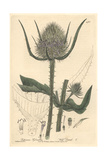 Wild Teasel, Dipsacus Sylvastris, From William Baxter's British Phaenogamous Botany, Oxford, 1842 Giclee Print by Charles Mathews