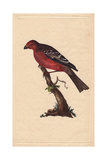 Pine Grosbeak From Edward Donovan's Natural History of British Birds, London, 1799 Impression giclée par Edward Donovan