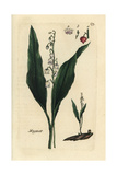 Lily of the Valley, Convallaria Majalis Giclee Print by Pierre Bulliard