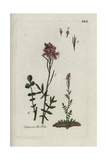 "Cuckoo Flower, Cardamine Pratensis, From Pierre Bulliard's ""Flora Parisiensis,"" 1776, Paris Giclee Print by Pierre Bulliard"
