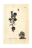 "Venus' Looking Glass, Legousia Speculum-veneris, From ""Flora Parisiensis,"" 1776, Paris Giclee Print by Pierre Bulliard"