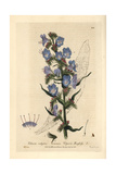 Viper's Bugloss, Echium Vulgare, From William Baxter's British Phaenogamous Botany, 1836 Giclee Print by Isaac Russell