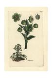 """Stinking Hellebore, Helleborus Foetidus, From Pierre Bulliard's """"Flora Parisiensis,"""" 1776, Paris Giclée-Druck von Pierre Bulliard"""