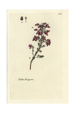 "Bell Heather, Erica Cinerea, From Pierre Bulliard's ""Flora Parisiensis,"" 1776, Paris Giclee Print by Pierre Bulliard"
