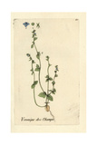 "Green Field-speedwell, Veronica Agrestis, From Pierre Bulliard's ""Flora Parisiensis,"" 1776, Paris Giclee Print by Pierre Bulliard"