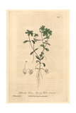 Spring Water Starwort, Callitriche Verna, From William Baxter's British Phaenogamous Botany, 1840 Giclee Print by Charles Mathews