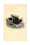 Storm Petrel From Edward Donovan's Natural History of British Birds, London, 1809 Impression giclée par Edward Donovan