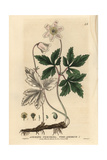 Wood Anemone, Anemone Nemorosa, From William Baxter's British Phaenogamous Botany, 1834 Giclee Print by Isaac Russell