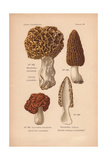 Morel Mushrooms: Morchella Esculenta, M. Conica And Gyromitra Esculenta Giclee Print by Leon Dufour