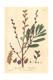 Sweet Gale, Myrica Gale, From William Baxter's British Phaenogamous Botany, Oxford, 1842 Giclee Print by Charles Mathews