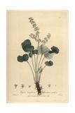 Mountain Sorrel, Oxyria Reniformis, From William Baxter's British Phaenogamous Botany, 1839 Giclee Print by Charles Mathews