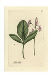 "Bogbean, Menyanthes Trifoliata, From Pierre Bulliard's ""Flora Parisiensis,"" 1776, Paris Giclee Print by Pierre Bulliard"